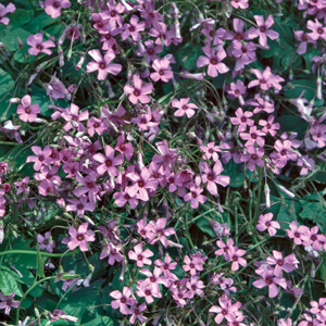 Oxalis latifolia &#8216;Rubra&#8217;